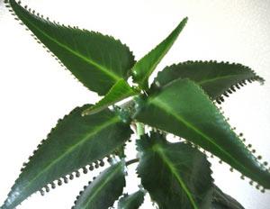 Лекарственные растения Каланхоэ | Отзывы покупателей